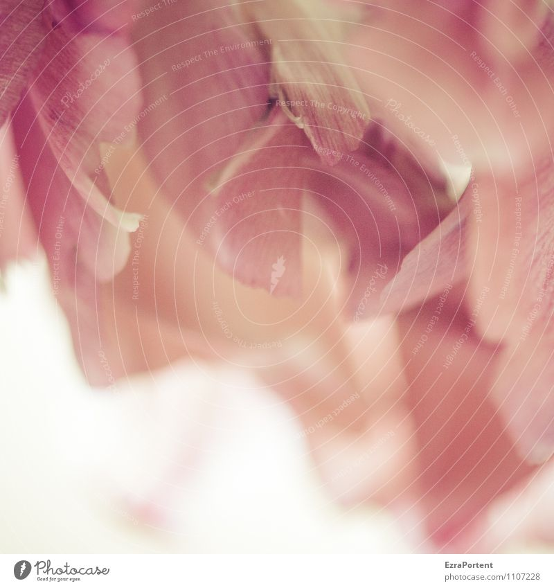 ein Blümchen dazu Pflanze Frühling Blume Blüte Blühend natürlich schön rosa rot weiß Vergänglichkeit verblüht Blütenblatt Strukturen & Formen Farbfoto