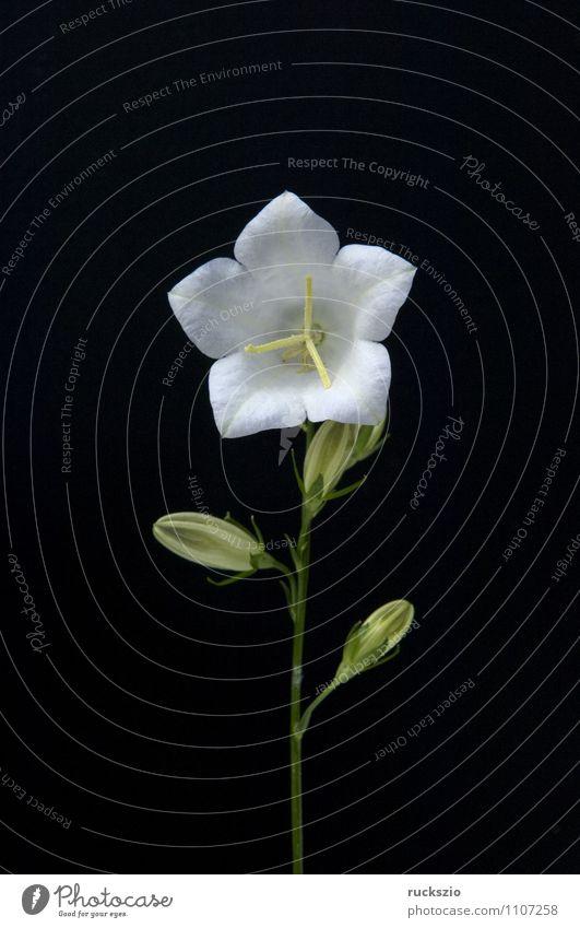 Rundblaettrige Glockenblume, Campanula rotundifolia Natur Pflanze Blume Blüte Wildpflanze Garten Blühend frei schwarz weiß Wiesenblume Waldpflanze Round-leaved