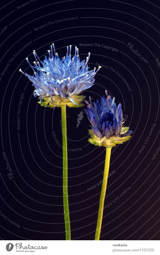 Sandgloeckchen, Jasione, laevis, Natur blau Pflanze Blume schwarz Blüte Hintergrundbild Garten frei Blühend Stillleben Objektfotografie neutral Sommerblumen