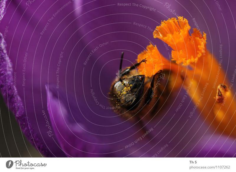Biene Natur Pflanze schön Farbe Tier Frühling Blüte natürlich elegant frisch authentisch ästhetisch Blühend Duft Frühlingsgefühle