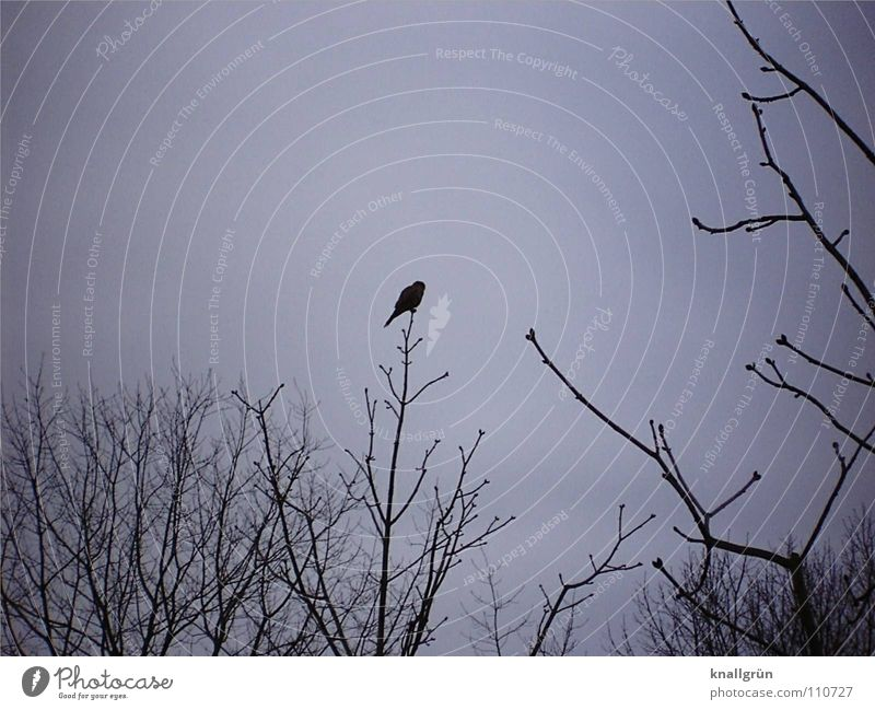 Edgar's Rabe Gedicht Rabenvögel grau dunkel schwarz Vogel Baum Geäst Himmel Edgar Allan Poe Vergangenheit Nimmermehr Ast Wintermorgen Zweig sitzen warten