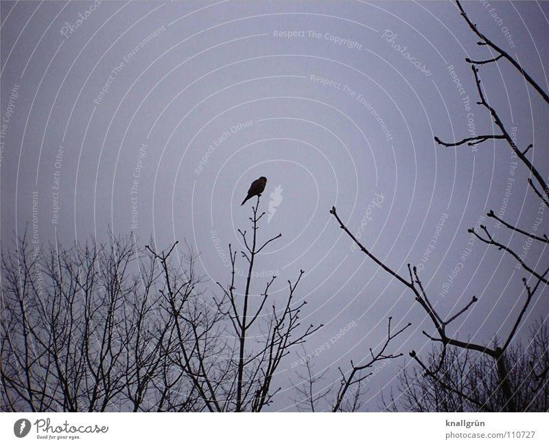 Edgar's Rabe Himmel Baum schwarz dunkel grau Vogel warten sitzen Ast Vergangenheit Zweig Geäst Rabenvögel Gedicht blau-grau