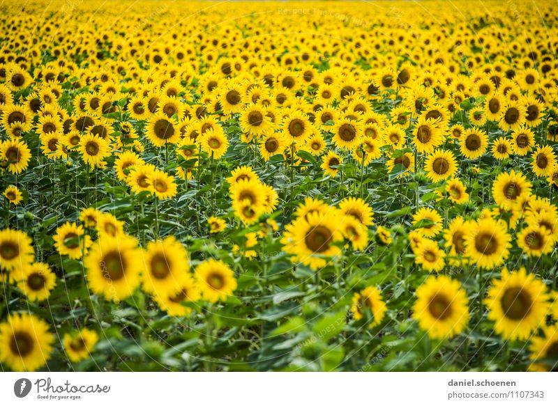 da lacht die Biene Natur Pflanze grün Sommer Blatt gelb Blüte Feld Fröhlichkeit Freundlichkeit Duft Nutzpflanze