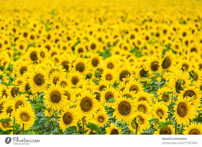 Sommer, Sonne, Sonnenblumen Natur Pflanze grün gelb Blüte Schönes Wetter Nutzpflanze