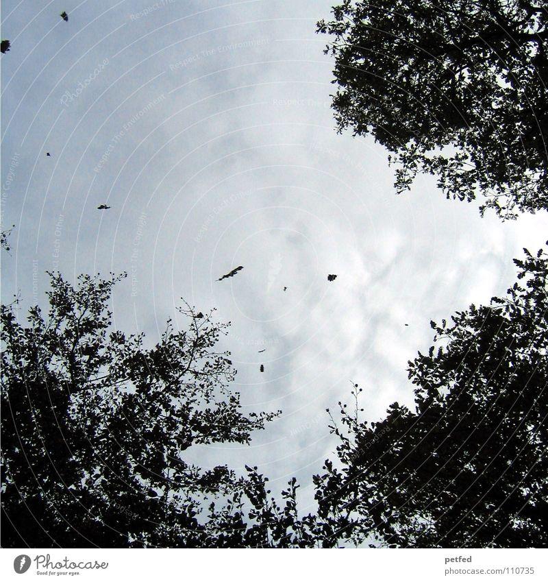 Baumkronen VI Herbst Wald Blatt Winter schwarz weiß unten Wolken Himmel Ast Zweig Natur blau Schatten hoch fallen Wind Wetter fliegen