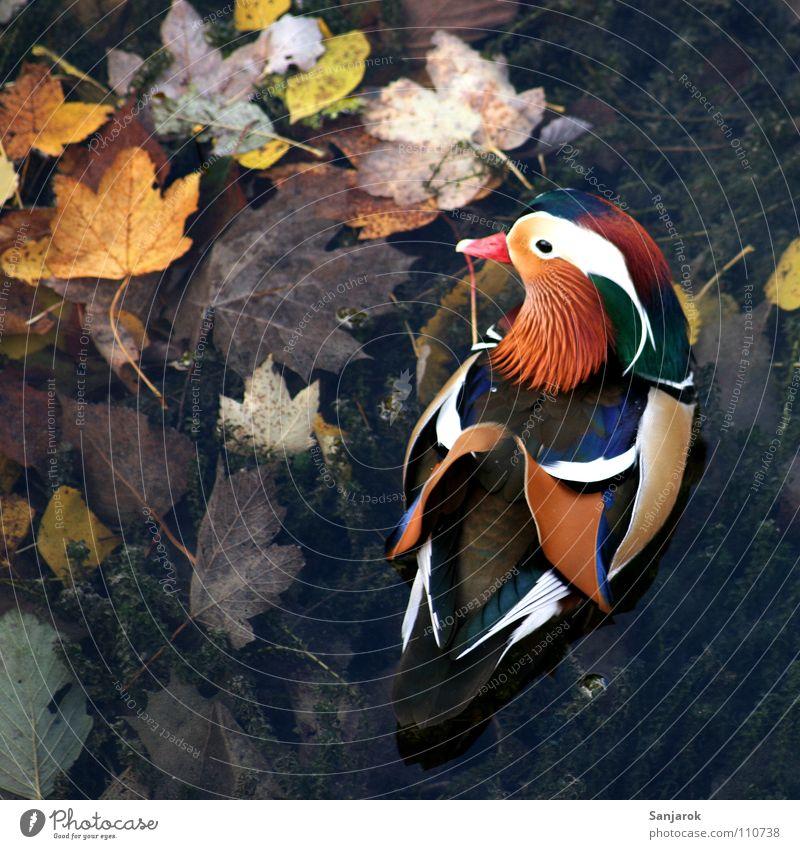 Quakwakwakwakwak! Mandarinente mehrfarbig Herbst Schnabel Feder Gewässer See Blatt Quaken außergewöhnlich Chinesisch braun gelb Schlamm Sumpf Vogel Ente Flügel