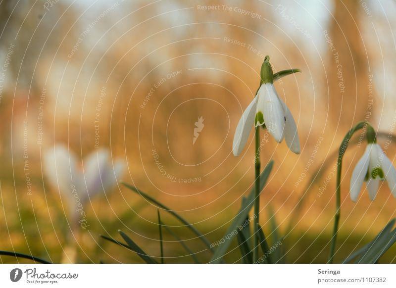 Der Frühling ist da und die Schneeglöckchen blühen Natur Pflanze Sonne Blume Blatt Gras Blüte Idylle Grünpflanze Wildpflanze