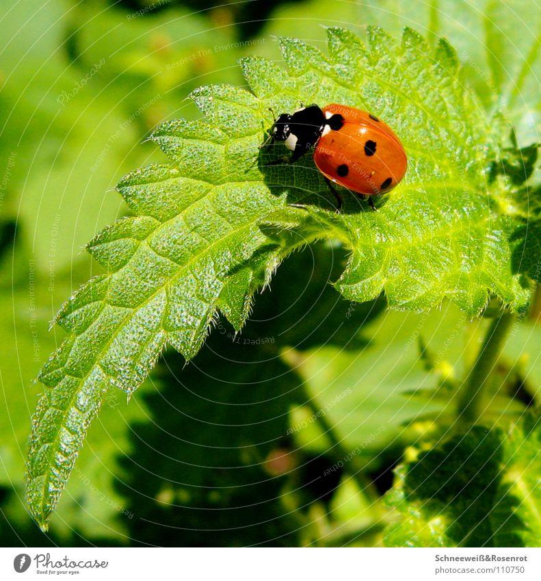 Hans im Salat Brennnessel Marienkäfer Punkt rot schwarz grün Schönes Wetter Heilpflanzen Unkraut