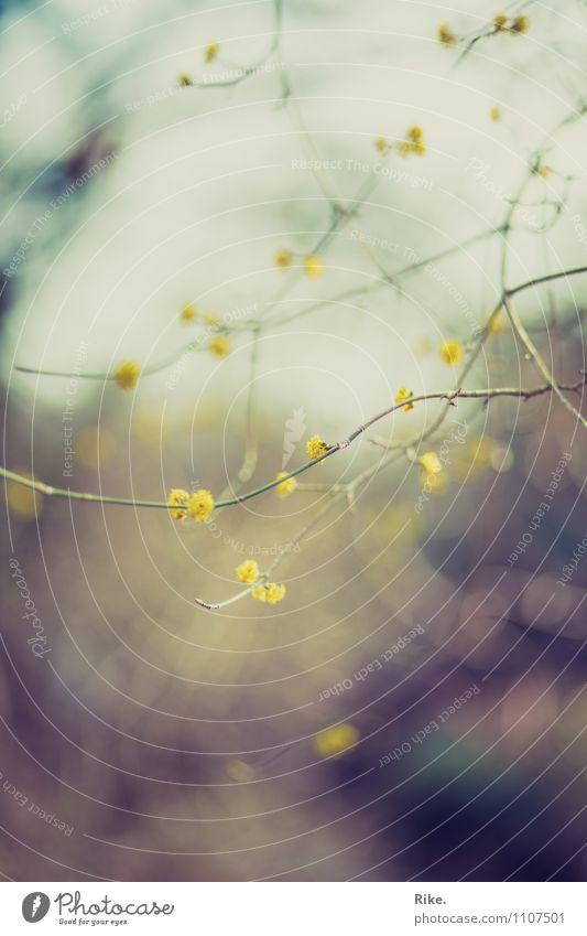 Zart. Natur Pflanze schön Baum kalt Umwelt gelb Frühling Blüte natürlich Garten Park träumen wild Wachstum trist