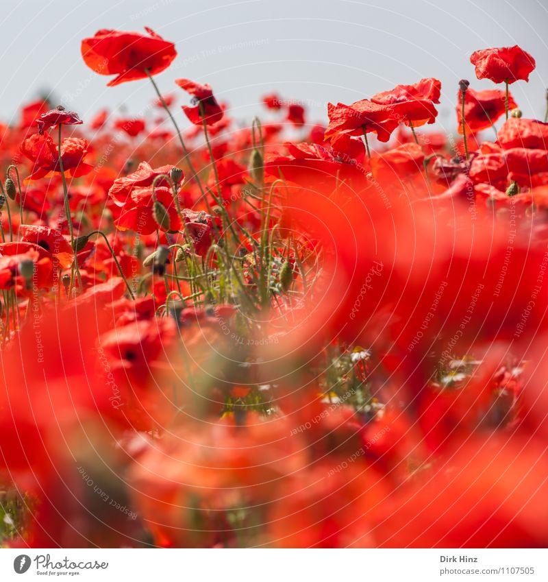 Mohn! Natur Ferien & Urlaub & Reisen Pflanze Sommer Blume rot Landschaft Umwelt Leben Blüte wild Tourismus Feld Landwirtschaft Duft