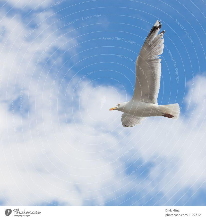 Kieler Möwe Umwelt Natur Tier Luft Himmel Wolken Küste Vogel Flügel 1 fliegen ästhetisch frei blau grau silber weiß Ferien & Urlaub & Reisen Tourismus Segeln