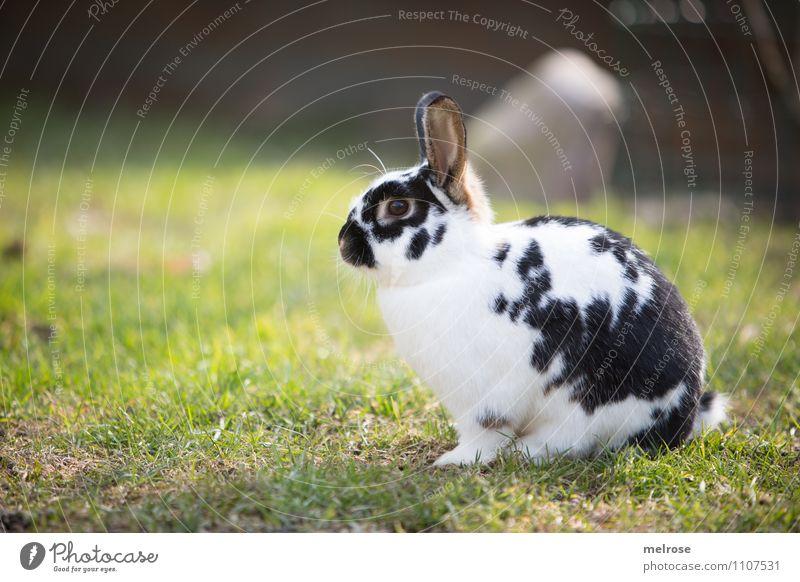 Osterhase in Warteschleife Ostern Natur Erde Frühling Schönes Wetter Gras Wiese Tier Haustier Tiergesicht Fell Pfote Nagetiere Zwergkaninchen Säugetier
