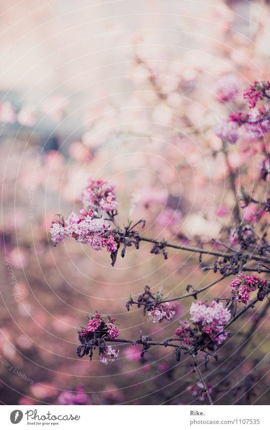 300 | Vergänglich. Natur Pflanze schön Sommer Umwelt Traurigkeit Frühling Blüte Herbst natürlich rosa Sträucher Vergänglichkeit Romantik Verfall Ende