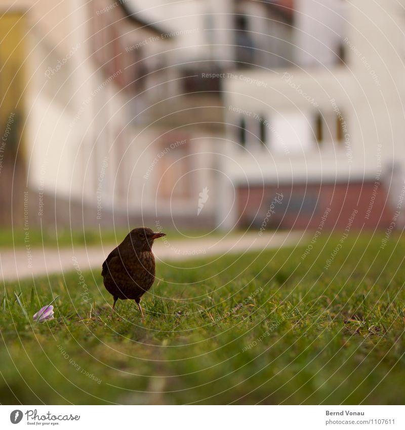 Vogel-HD Gras Heidelberg Stadt Haus schön Amsel Schnabel Krokusse Boden bodennah einzeln Farbfoto Nahaufnahme Menschenleer Textfreiraum oben Textfreiraum unten