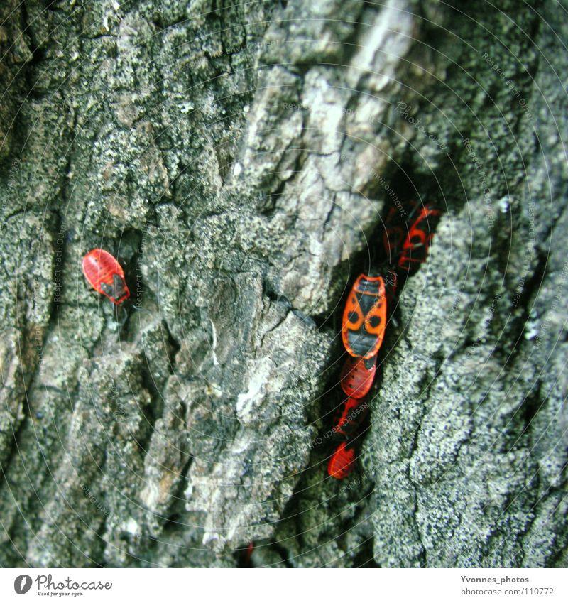 Außenseiter Feuerwanze Wanze Haufen Anhäufung Baum Baumrinde Insekt Tier Schiffsbug rot Einsamkeit Herbst grau Farbfleck Quadrat schwarz Holzmehl klein mehrere