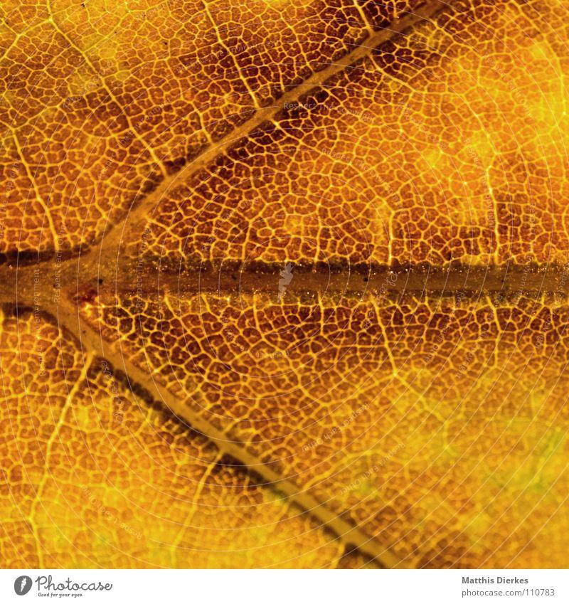 DER HERBST VI Herbstlaub herbstlich Herbstfärbung Blattadern gelb Makroaufnahme Bildausschnitt Hintergrundbild