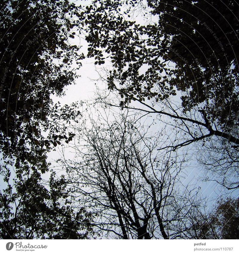 Baumkronen VII Herbst Wald Blatt Winter schwarz weiß unten Wolken Himmel Ast Zweig Natur blau Schatten hoch fallen Wind