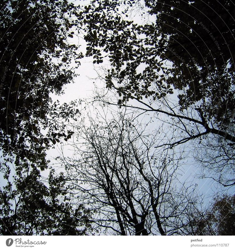 Baumkronen VII Natur Himmel weiß Baum blau Winter Blatt schwarz Wolken Wald Herbst Wind hoch fallen Ast unten