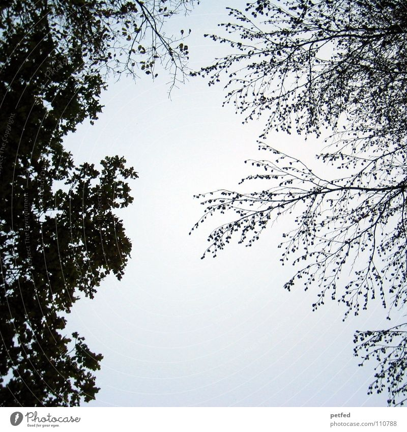 Baumkronen VIII Natur Himmel weiß blau Winter Blatt schwarz Wolken Wald Herbst Wind hoch fallen Ast unten
