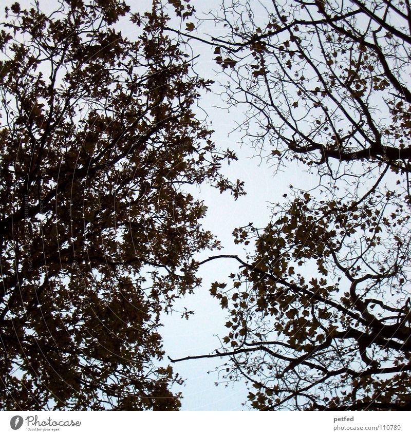 Baumkronen IX Herbst Wald Blatt Winter schwarz weiß unten Wolken braun Himmel Ast Zweig Natur blau Schatten hoch fallen Wind