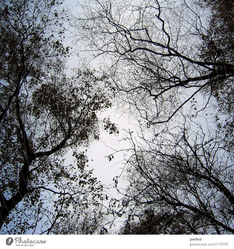 Baumkronen X Natur Himmel weiß blau Winter Blatt schwarz Wolken Wald Herbst Wind hoch fallen Ast unten