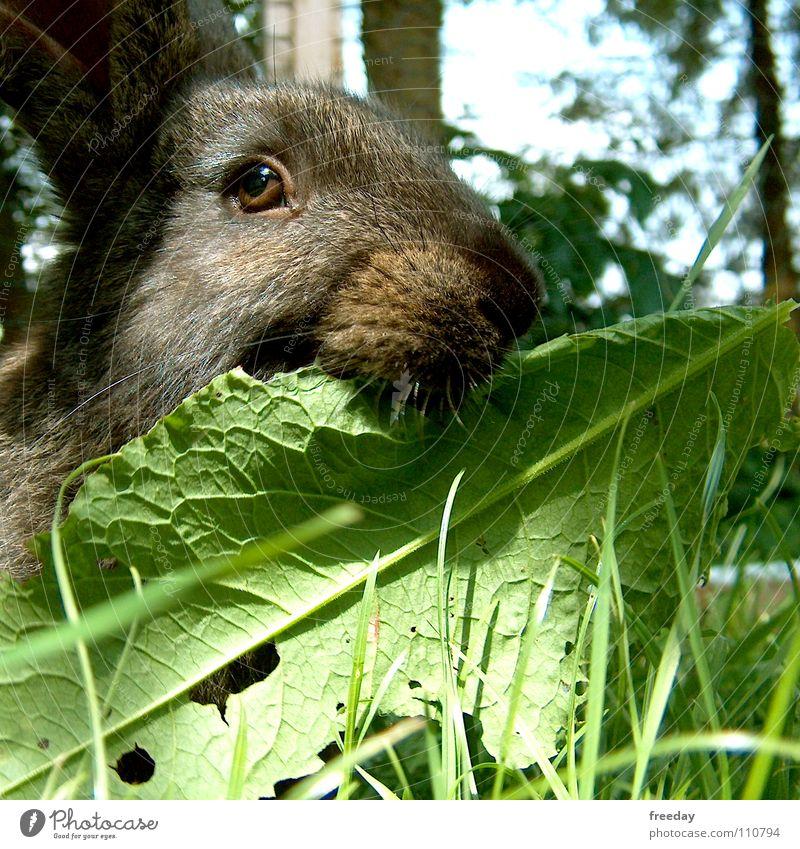 ::: Bitte nicht stören! ::: Hase & Kaninchen schwarz weiß Gras grün Hängeohr Fell weich kuschlig Möhre Ernährung Blatt Tier Bauernhof Futter Säugetier