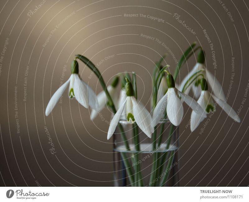 Schneeglöckchen im Glas 3 Natur Pflanze grün weiß Wasser Erholung Blume ruhig Freude Leben Wand Frühling Blüte Stil Mauer grau