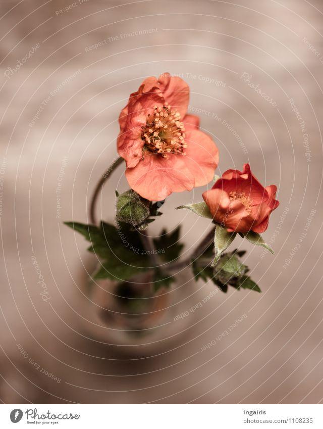 Nelkenwurz Pflanze grün schön Blume rot Blüte natürlich grau orange frisch Dekoration & Verzierung Blühend Vergänglichkeit Romantik weich Blumenstrauß