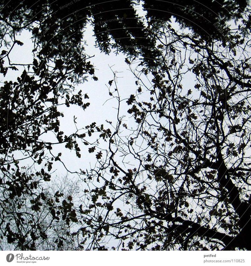 Baumkronen XI Herbst Wald Blatt Winter schwarz weiß unten Wolken Himmel Ast Zweig Natur blau Schatten hoch fallen Wind