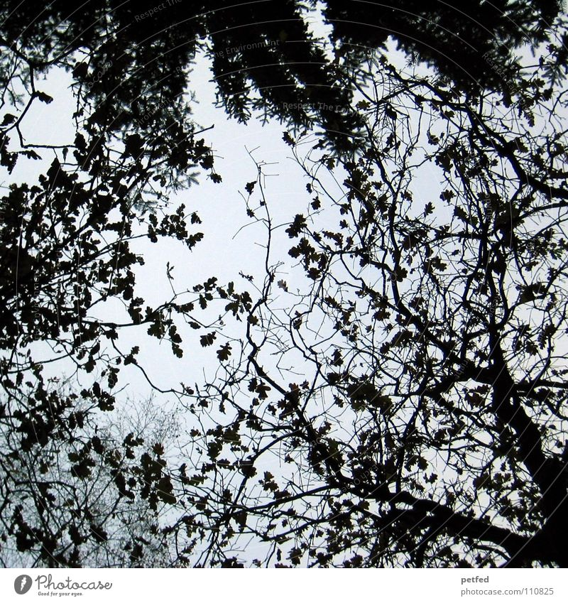 Baumkronen XI Natur Himmel weiß blau Winter Blatt schwarz Wolken Wald Herbst Wind hoch fallen Ast unten