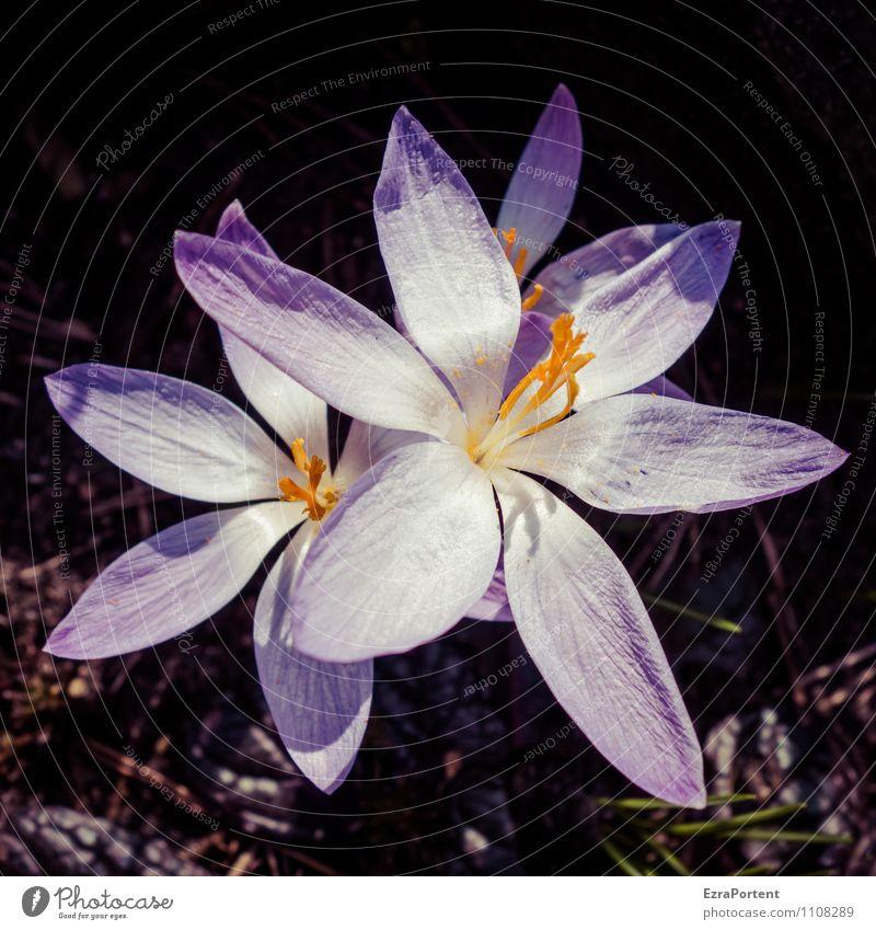 Riesenkrokus Umwelt Natur Landschaft Pflanze Erde Sonne Frühling Wetter Schönes Wetter Blume Blüte Wildpflanze Garten Blühend leuchten natürlich trashig violett