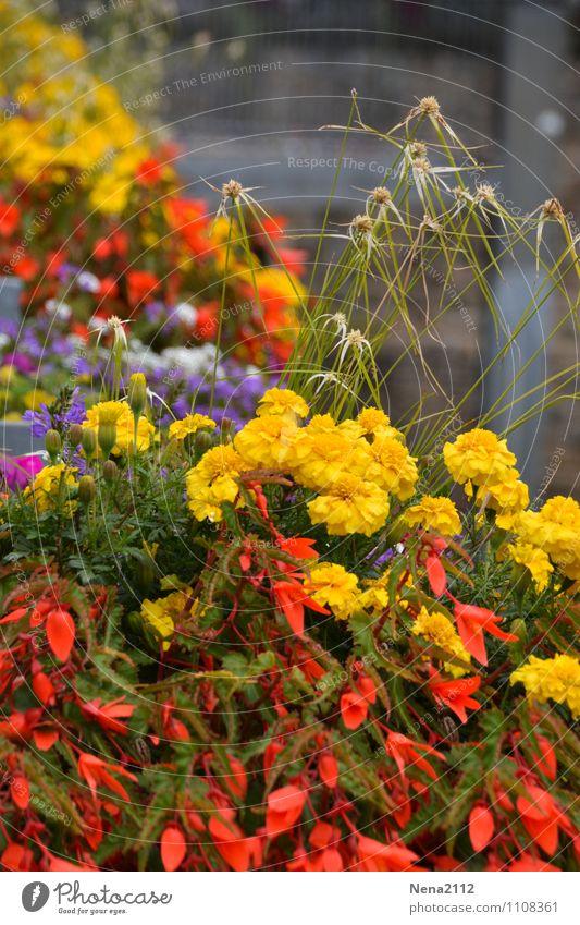 flower power Natur Stadt Pflanze Sommer Blume rot Umwelt gelb Frühling Garten Park Dorf Stadtzentrum Altstadt Kleinstadt Topfpflanze