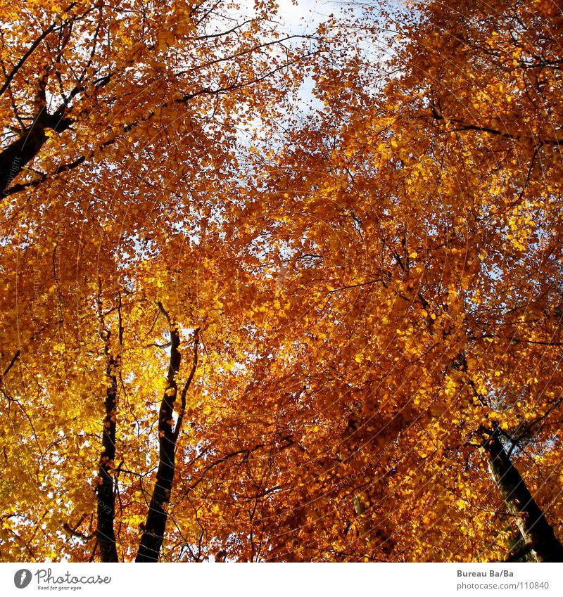 Goldrausch Wald Blatt Baum gelb braun Rascheln ruhig herbt Himmel blau orange Wind Ast geborgendheit