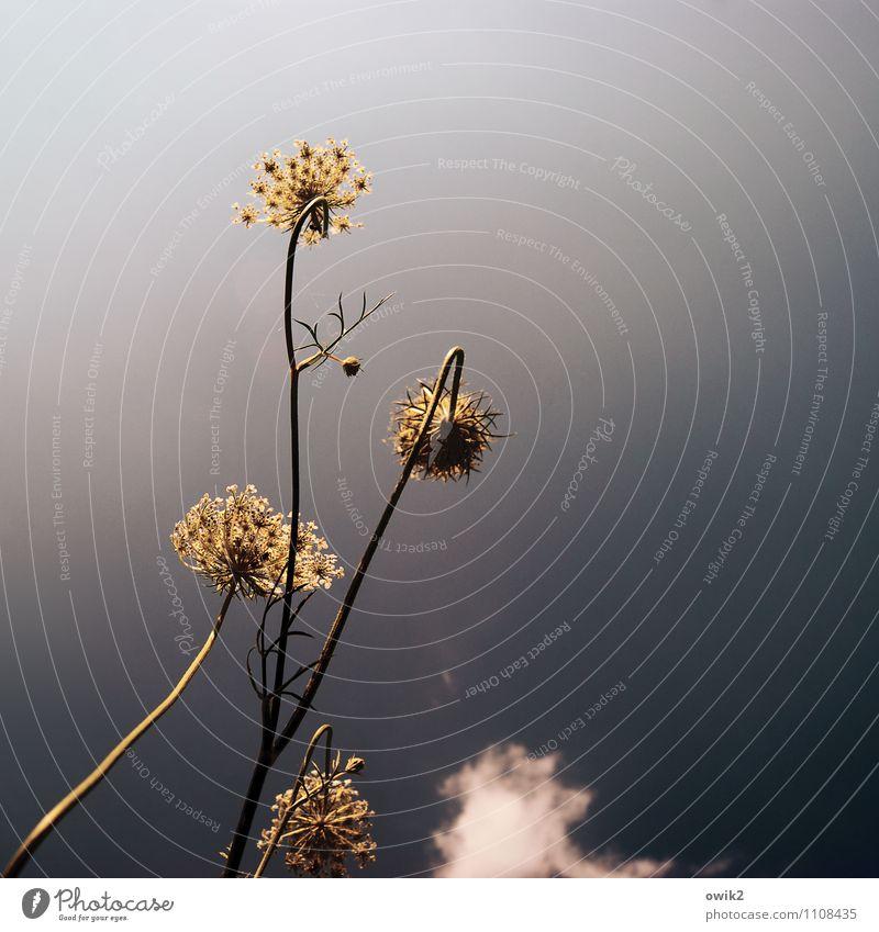 Schafgarbe Umwelt Natur Pflanze Himmel Wolken Klima Schönes Wetter Sträucher Gewöhnliche Schafgarbe Wachstum Farbfoto Gedeckte Farben Außenaufnahme Nahaufnahme