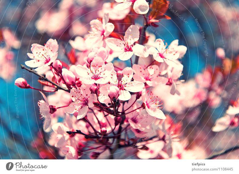 Kirschblüte Frühling springen retro rosa Kirschbaum Kirschblüten Zweig Kirsche blau Makroaufnahme Blüte Blühend optimistisch Ast Gedeckte Farben