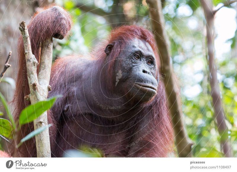 Orang Utan im Regenwald Tier Wildtier Abenteuer Asien Tiergesicht Urwald Indonesien Borneo Orang-Utan