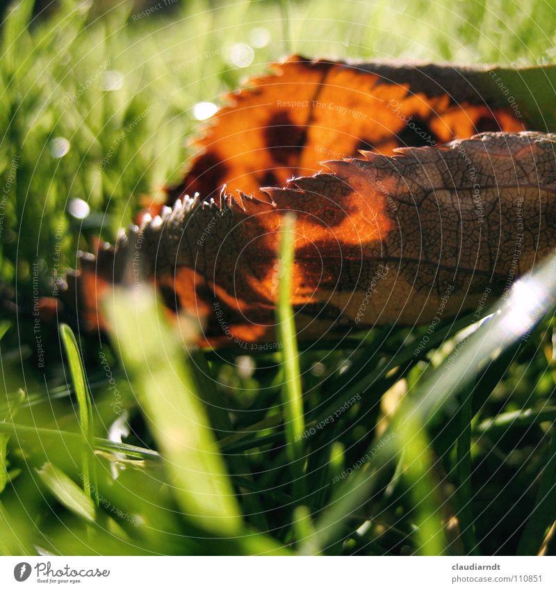 Kuhflecken grün Blatt Herbst Wiese Gras Seil frisch Rasen Punkt Halm Fleck scheckig Zacken durchleuchtet Warmes Licht