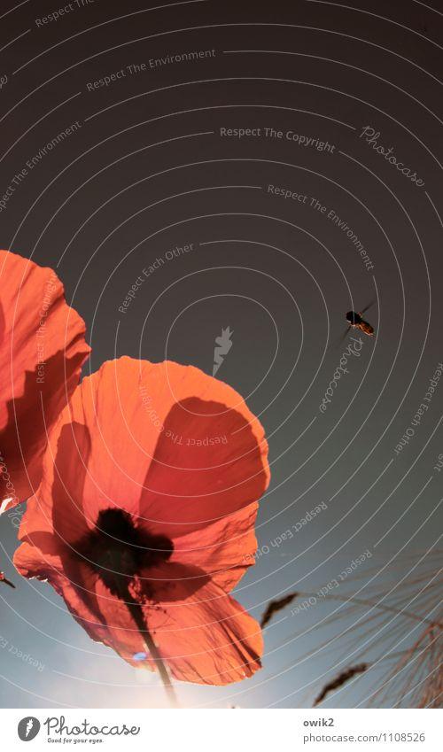 Einflugschneise Umwelt Natur Wolkenloser Himmel Blume Mohn Mohnblüte Mohnblatt Tier Biene fliegen Farbfoto Außenaufnahme Nahaufnahme Detailaufnahme Menschenleer
