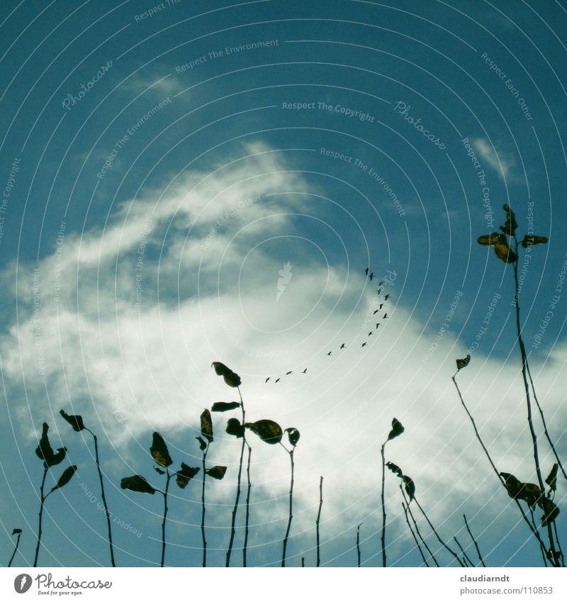 Abflug Zugvogel Vogel Kranich Vogelschwarm Formationsflug Herbst Blatt Lager Abschied fliegen Wolken Apfelbaum Ferne Heimweh Himmel Ferien & Urlaub & Reisen