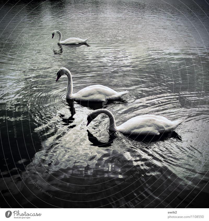 Lange Hälse Umwelt Natur Tier Wasser Schönes Wetter Wellen Teich See Schwan 3 berühren Bewegung Schwimmen & Baden elegant Zusammensein unten Gelassenheit