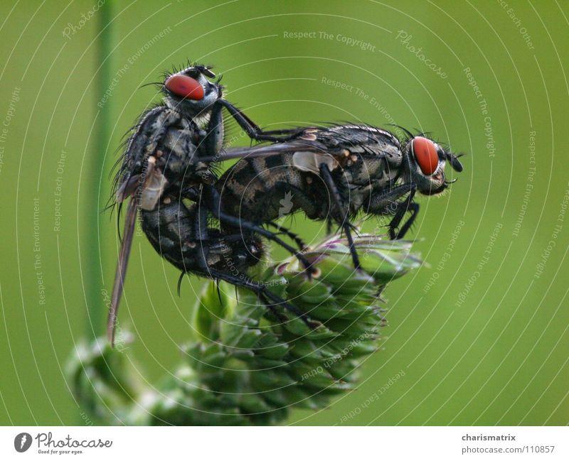 Fliecken Makroaufnahme Insekt grün Nahaufnahme fliegen Natur Brachycera Flügel