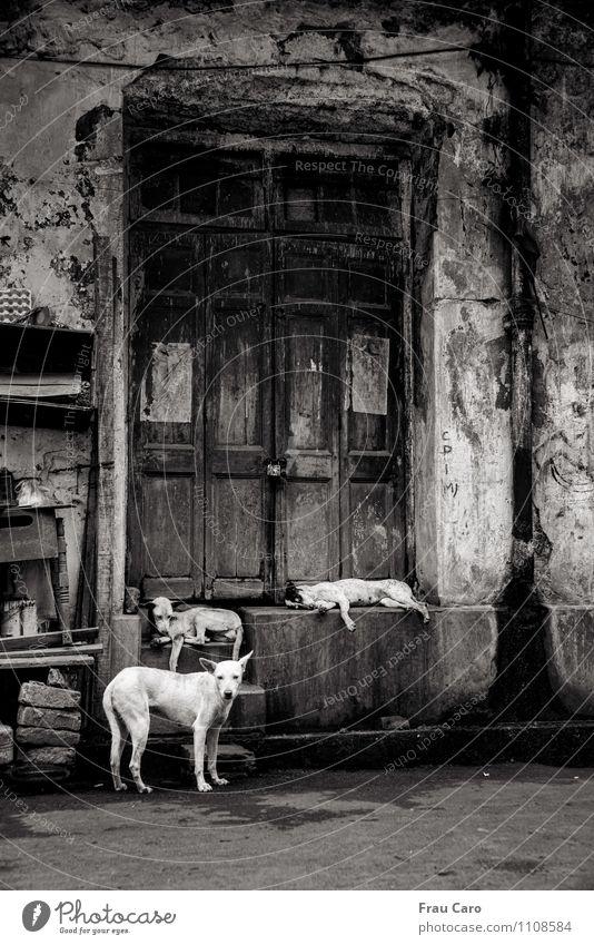 Hunde in Kalkutta Stadt Altstadt Menschenleer Haus Gebäude Mauer Wand Treppe Tür Tier Haustier 3 Tiergruppe Stein Beton Holz beobachten hocken liegen Blick