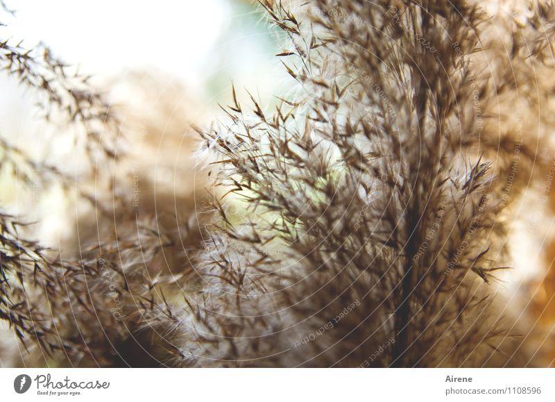 im Schilf Pflanze Gras braun weich zart türkis Schilfrohr Riedgras Wasserpflanze hellbraun
