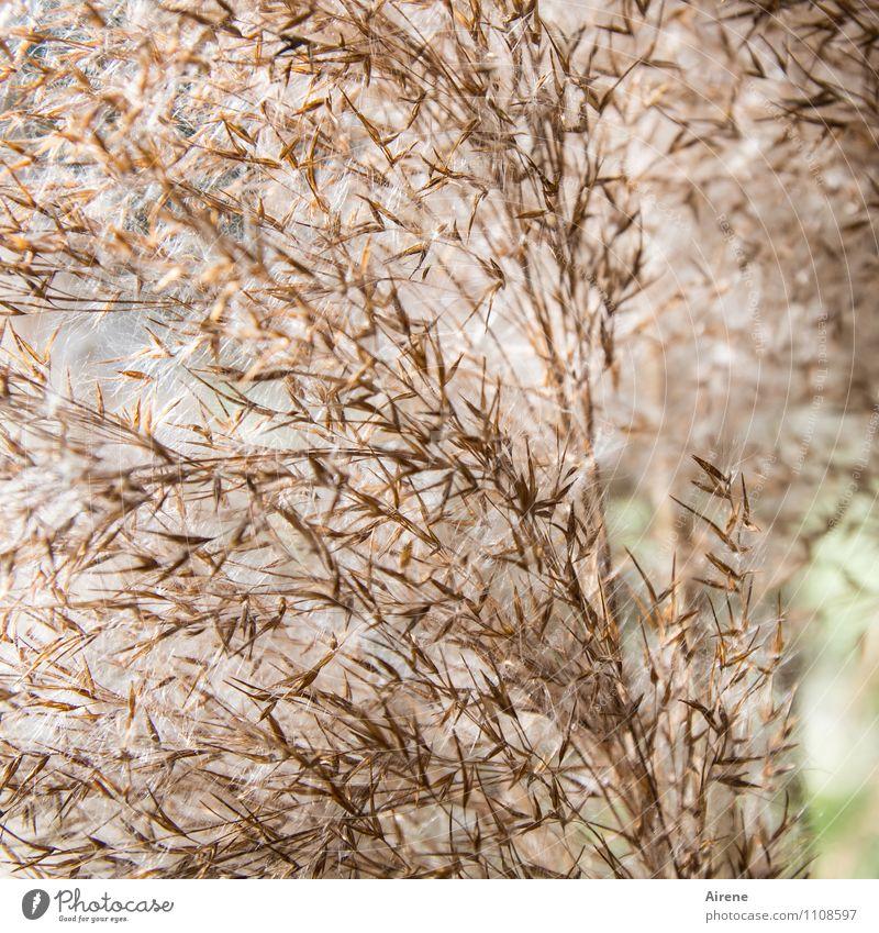 im Schilf II Pflanze Gras Wasserpflanze Schilfrohr hell weich braun grün kleinteilig Samen Korn körnig Farbfoto Außenaufnahme Detailaufnahme Menschenleer Tag