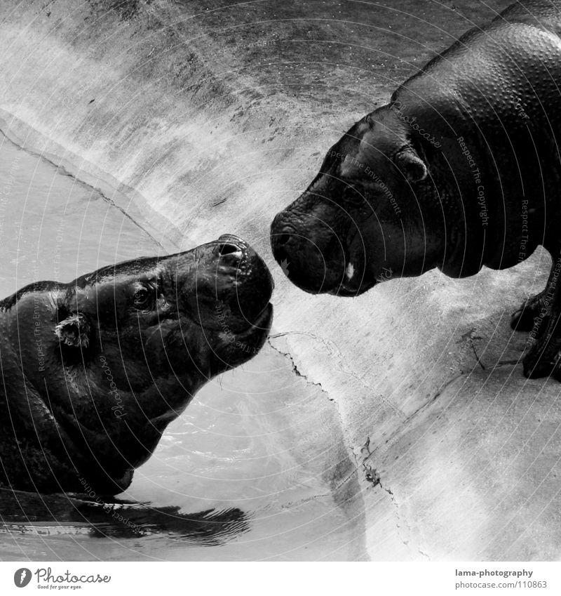 Hippo Love Wasser Tier Liebe Gefühle Glück Freundschaft Zusammensein Tierpaar paarweise gefährlich Romantik Wildtier Tiergesicht nah Küssen berühren