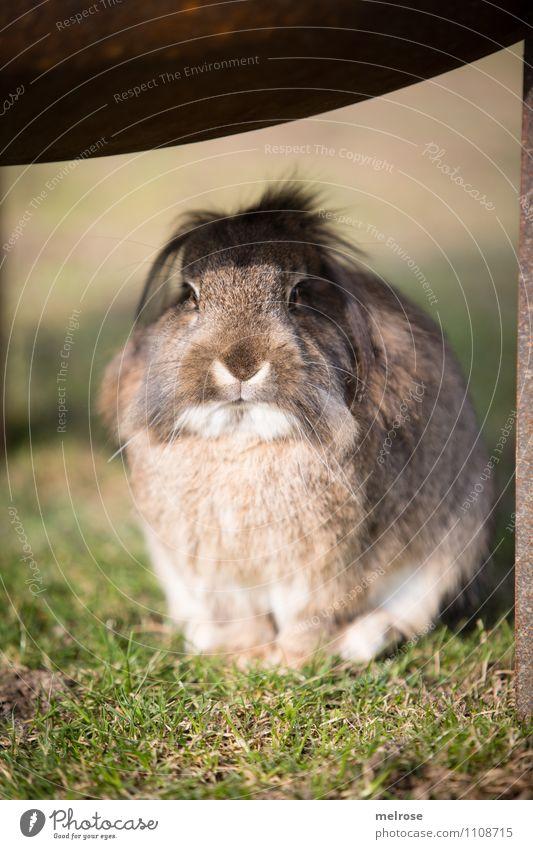 Sonnenbad Ostern Natur Erde Frühling Schönes Wetter Gras Wiese Haustier Tiergesicht Fell Pfote Zwergkaninchen Hase & Kaninchen Nagetiere Säugetier 1 beobachten
