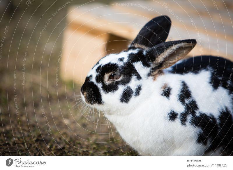 Warten auf Ostern Natur grün weiß Erholung Tier schwarz Wiese Frühling Gras Zufriedenheit Erde sitzen beobachten niedlich Pause Ostern