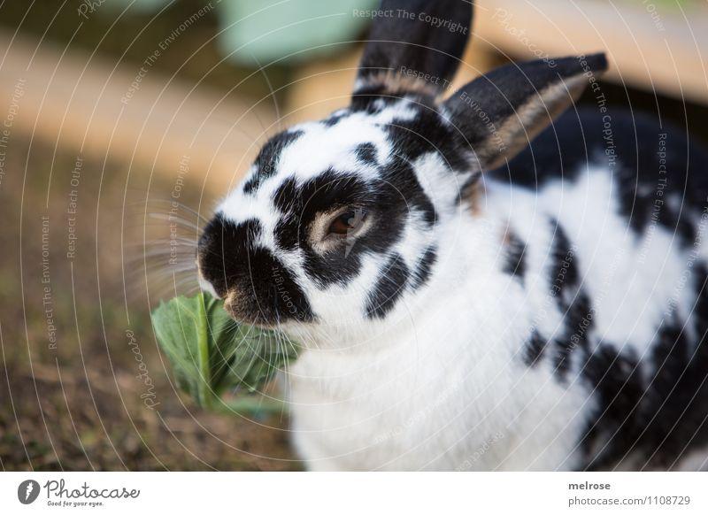 Mahlzeit Salat Salatbeilage Ostern Natur Frühling Gras Salatblatt Wiese Tier Haustier Nagetiere Zwergkaninchen Säugetier Hase & Kaninchen 1 Hasenlöffel Fressen
