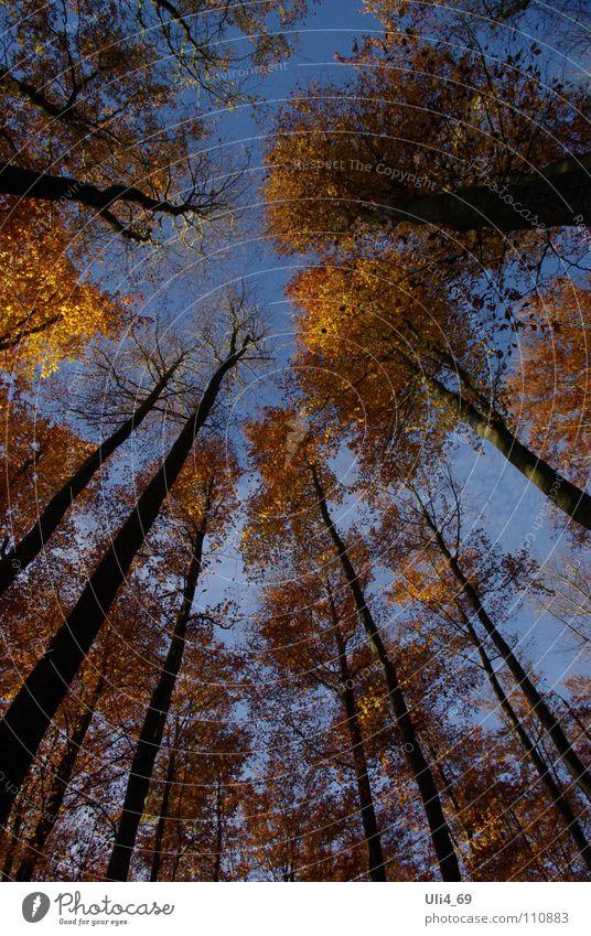 Buchen im Herbst Baum gelb Farbe gold vertikal Herbstfärbung