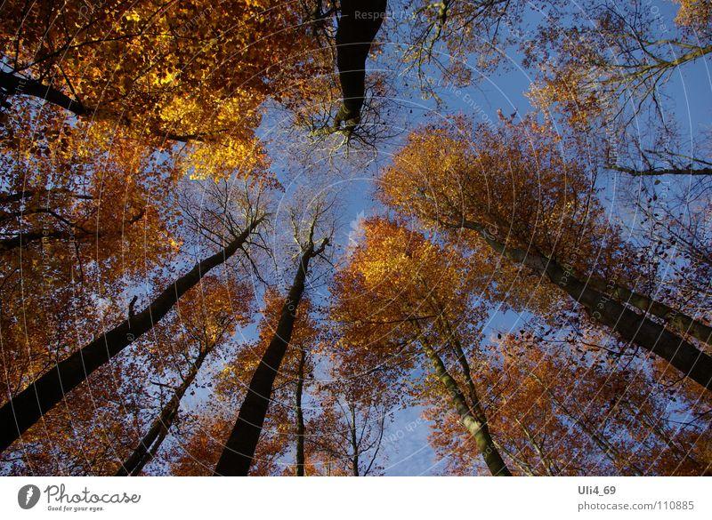 Baumkronen im Herbst Blatt gelb gold Buche